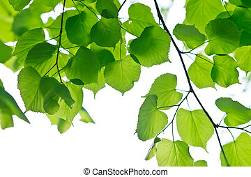 Fresh Spring Leaves - fresh lime leaves on a white...