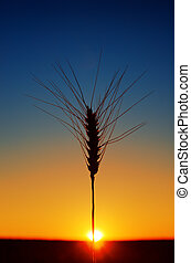 ears of wheat and sunset