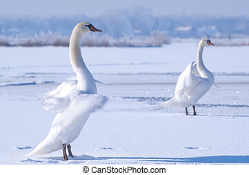 White swans on a frozen lake - Two white swans performing a...