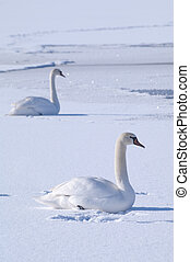 Two swans on a frozen lake - Two white swans resting on a...