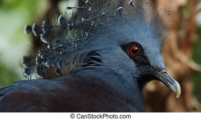 Victoria crowned pigeon. Closeup.