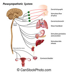 Parasympathetic system - Parasympathetic pathways of the...