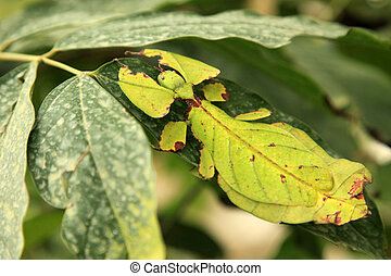Leaf Insect - Tropical Leaf Insect in Malaysia