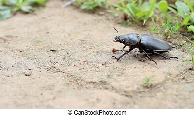 dung beetle slow motion - dung beetle ,Scarabaeidae insect
