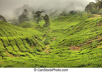 Tea Plantation, Malaysia - TeaPlantation in Cameron...