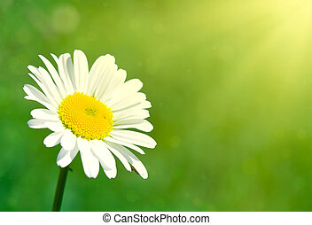 chamomile flower under sun rays - Close-up of chamomile...