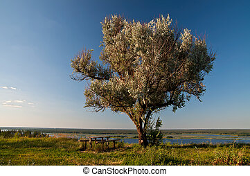 Old wild olive tree, a table and be