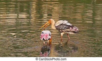 Fishing Stork3 - Painted Storks Mycteria leucocephala...