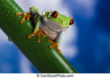 Red eyed green tree frog - The photo of the red eyed tree...