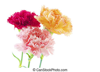 Carnation flowers - Three different color carnation flower...