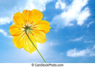 single yellow flower of cosmos with blue sky
