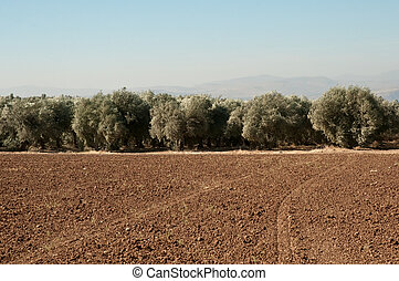 Galilee. North Israel . - Agriculture fields . Olive...
