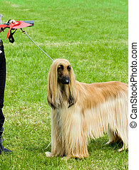 Afghan hound wins first place at dog show - Afghan hound...