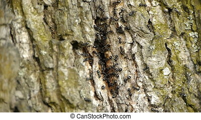HD - anthill in the tree