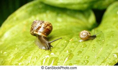 HD - Big Snail