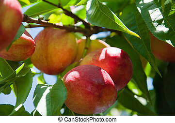 Ripe nectarines on a branch