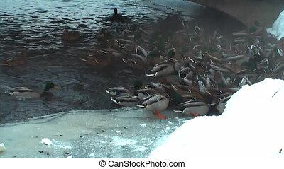HD - Feeding wild ducks in winter