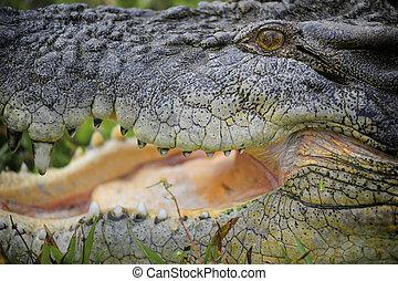 Saltwater Crocodile Australia - Jumping Saltwater Crocodile...