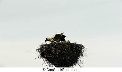 HD - Feeding storks
