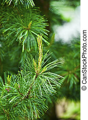 pine branch - close up of a pine branch