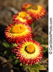Helichrysum bracteatum - details of a strawflower or...