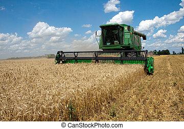 combinar, cosechas, trigo, campo, soleado, verano,...