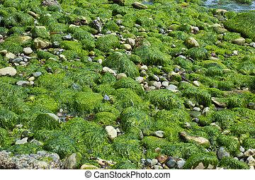 calma, Vista marina, algas, cubierto, rocas