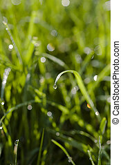 dew drop on a grass stalk