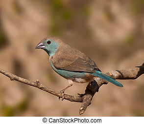 Nice capture of this tiny Blue waxbill against a nice...
