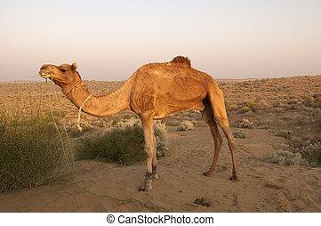 camelo, Bikaner, Índia