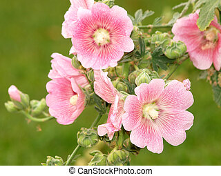 Pink hollyhock Althaea rosea blossoms
