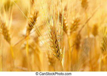 gold grains in summer time - detail of organic gold grains...