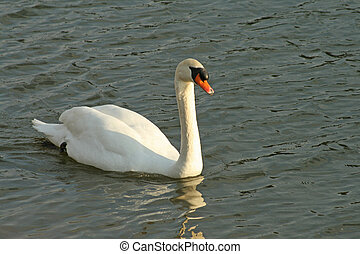 Regal swan - A regal swan glides across a pond at sunset