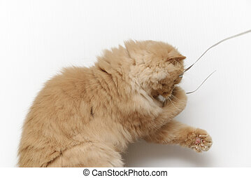Persian cat - Playing persian cat with her toy