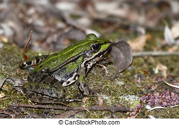 A Green brown frog close up