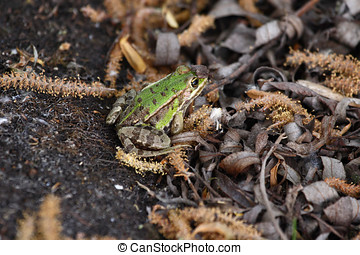 A Green brown frog in leaves