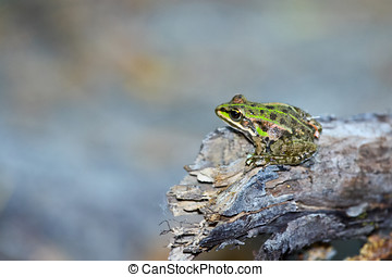 A Green frog on a dry wood