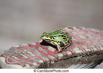 A Green frog on a tennis shoe - Edible green frog Rana...