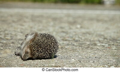 Traffic Safety - Hedgehog Pedestrian Killed in Road Accident