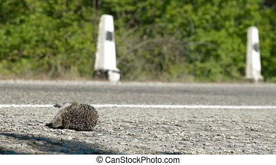 Hedgehog Pedestrian Killed in Road - Hedgehog as a...