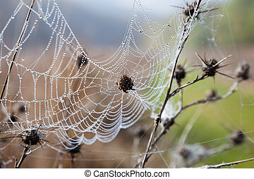 Cobweb with dew hanging on the dry grass and spider in the...