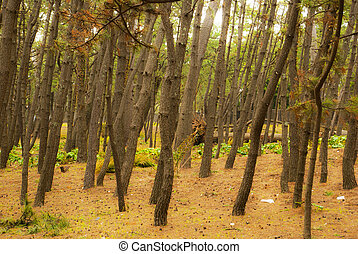 The summer pine forest