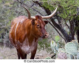 rojo, blanco, Tejas, largo, cuerno, vaca