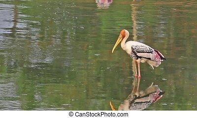 Stand Alone Stork - A painted stork Mycteria leucocephala...