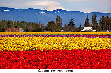 Red Yellow Tulips Flowers Mt Baker Skagit Valley Farm...