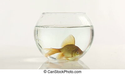 goldfish in fish bowl - one goldfish swimming in little fish...