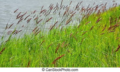 green grass on riverside in wind