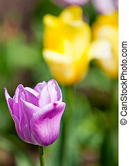 Pink tulip in the foreground and yellow on a background out of focus