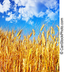 Wheat field landscape, closeup on rye over blue sky, nature...