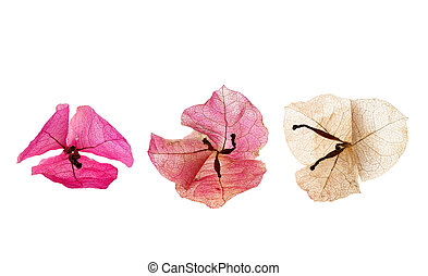 bougainvillea flower isolated on white background